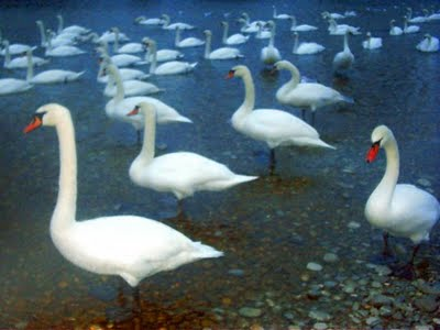 two poem comparisons the wild swans Comparing two poems - 'winter swans' and 'tissue' © wwwteachitcouk 2016 26003 page 2 of 4 the clouds had given their all - the waterlogged earth.